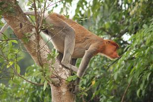 proboscis_monkey2