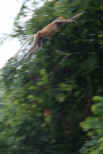 proboscis_monkey4