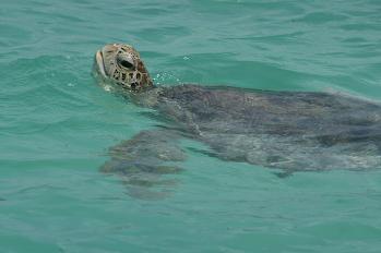 green_turtle1.JPG