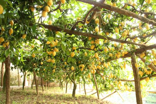 lemon_trees.JPG