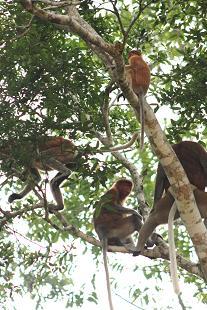 proboscis_monkey1.JPG