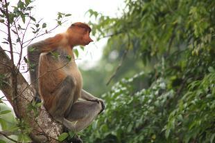 proboscis_monkey3.JPG